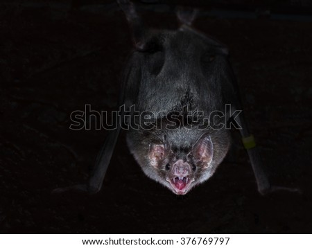 Common vampire bat (Desmodus rotundus) is hanging in the dark