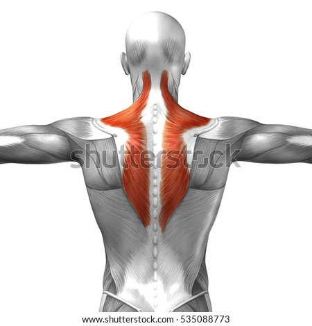 Concept conceptual 3D illustration back human anatomy or anatomical and muscle isolated on white background, metaphor to body, tendon, spine, fit, abs, strong, biological, gym, fitness, health medical