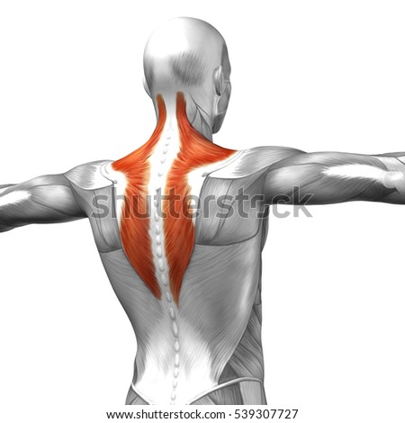 Concept conceptual 3D illustration back human anatomy or anatomical and muscle isolated on white background metaphor to body, tendon, spine, fit, abs, strong, biological, gym, fitness, health medical