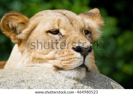 Congolese lion (Panthera leo bleyenberghi) portrait of the beautiful lion who is resting