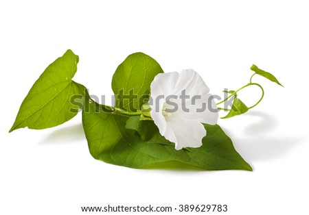 Convolvulus arvensis flowers on white background