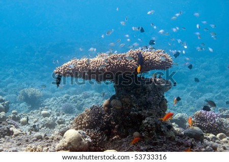 coral bush with fish in Red sea, a Gulf of Eilat