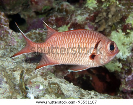 Coral fish Ehrenberg`s snapper