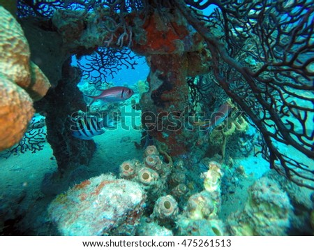 Coral growing from the deck of s shipwreck, with fish swimming above it, off the coast of Saint Lucia
