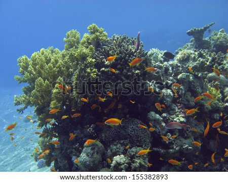 Coral reef in the Red Sea. Egypt.