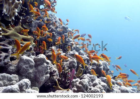 coral reef with hard corals and exotic fishes Anthias