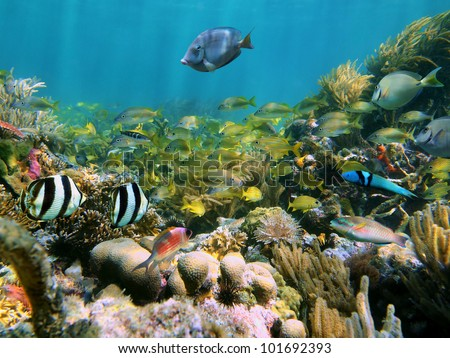 Coral reef with school of colorful tropical fish underwater in the Caribbean sea