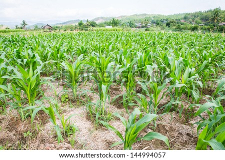 Corn field in north of thailand