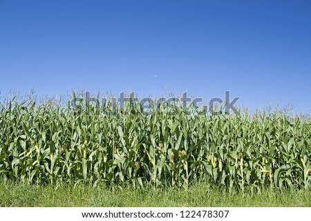 Corn field, maize field.