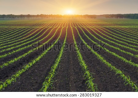 Corn field. The lines in nature. Morning landscape with sunlight