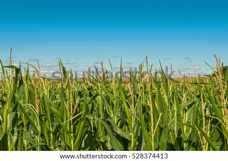 Corn, Maize field with blue clouds in the background