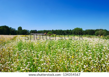 Corn marigolds and Buckwheat in agriculture landscape