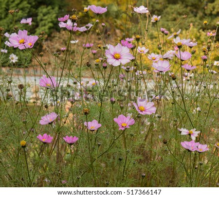 Cosmos bipinnatus 'Sensation Pinkie' in a Country Cottage Garden in Autumn, Rural Somerset,England, UK