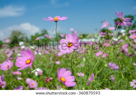 cosmos flower in the garden against blue sky.