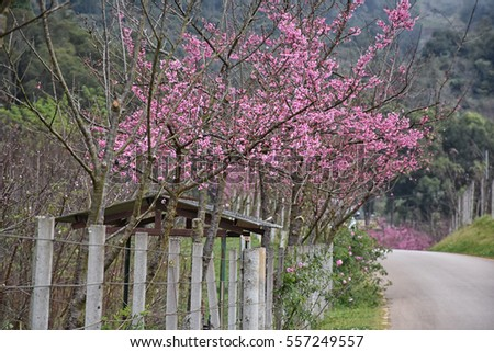 Cottage fence with Sakura blossom background