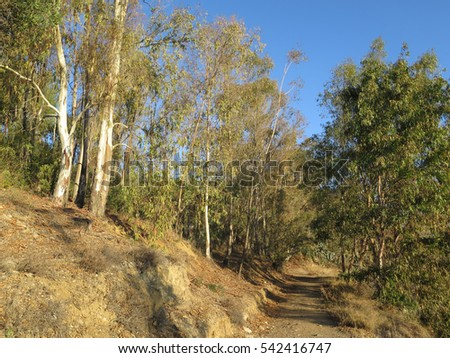 Country path through eucalyptus trees on the outskirts of village Andalusia one sunny morning