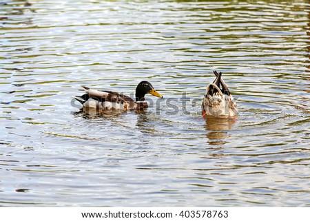 Canada Goose Branta Canadensis Family Feeding Stock Photo ...