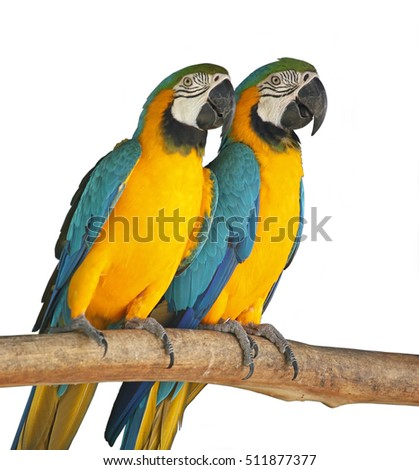 Couple of orange sun conure sleeping and cuddle on a tree branch isolated on white background