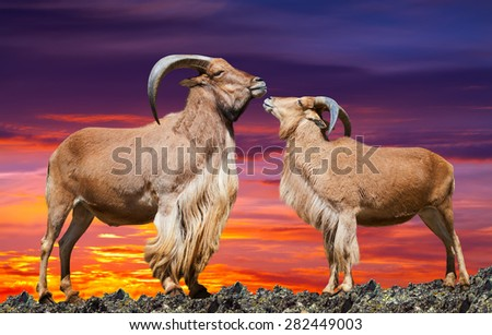 couple of  sheeps  on rock in sunset