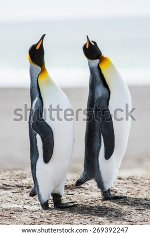 Couple of the King penguins in Antarctica