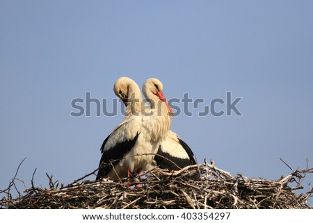 Couple of white storks on a nest against the blue sky have a rest in the spring under the sun