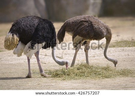 Couple Ostriches (Struthio camelus) eating