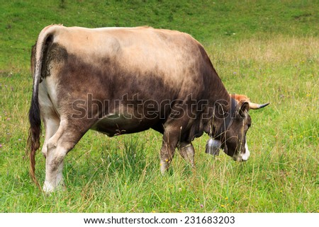 Cow browsing in the Allgau
