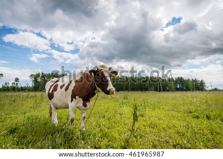 Cow grazing in the meadow in Latvian countryside