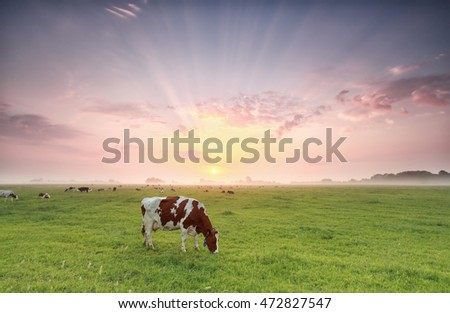 cow grazing on pasture at dramatic sunrise, Holland