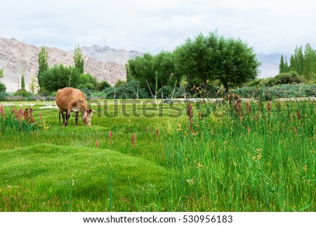 Cow grazing on pasture with natural landscape near Shey Palace located at Leh Ladakh, Jammu and Kashmir, India