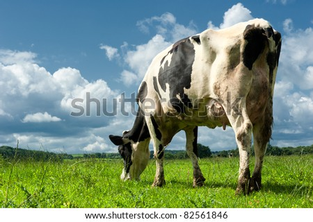 Cow in a beautiful sunlighted field.