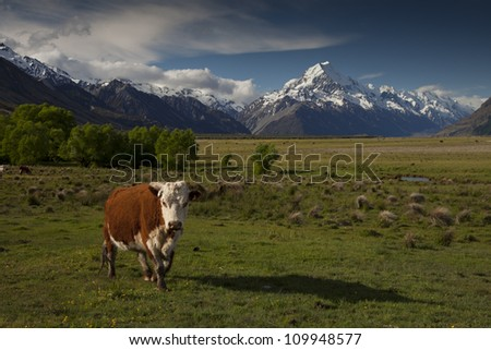 Cow looking into camera with snow capped mountains at the back