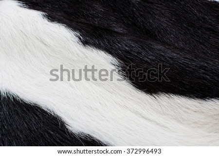 Cow Skin. Cow Fur and Hair. Genuine, Black and White. Animal Background, Pattern, Wallpaper and Textured. Concept and Idea of Dairy Farm Life, Vintage Country Style, or Leather Industry.