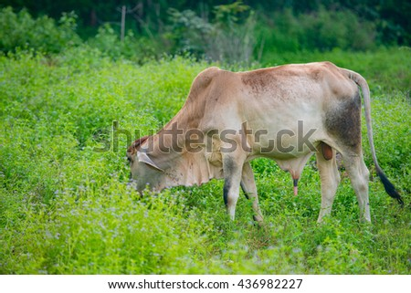 cows eating grass  with a backdrop of trees
