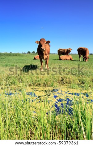 Cows in dutch landscape with blue sky