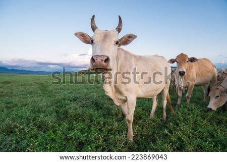 cows in green field