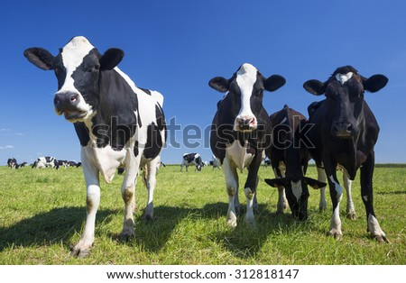 Cows on green grass with blue sky
