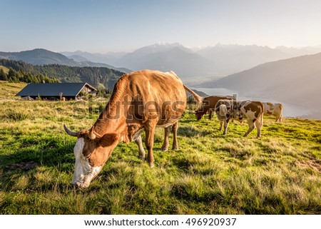 Cows on mountain pasture in the alps, Salzburg, Austria