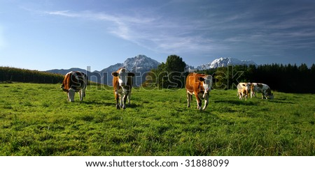 cows on pasture in bavarian landscape at autumn