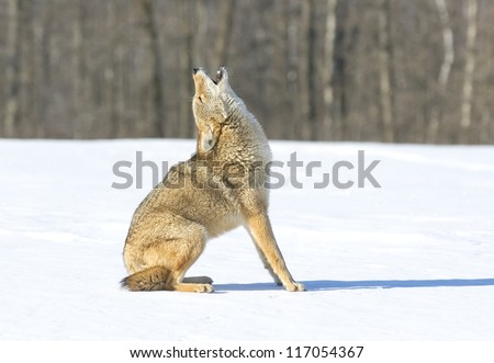 Coyote howling, sitting in snow covered field
