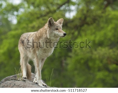 Coyote on rock searching for next meal with green trees