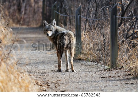Coyote walking along the path at Inglewood Bird Sanctuary in Calgary, Alberta, Canada.