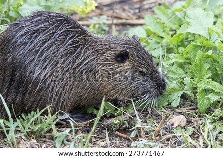 Coypu looking for food