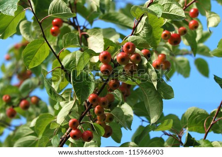 Crab apple tree branch laden with fruit