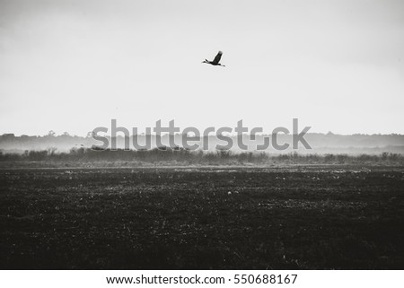Crane flying at Paynes Prairie State Park in Florida.