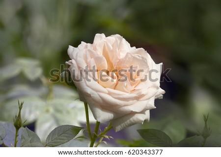 cream garden rose closeup - Cream Garden Rose