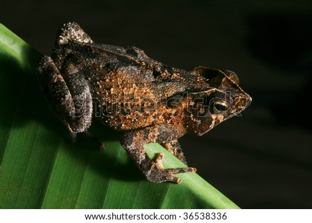 crested toad at night in Bolivian rain forest