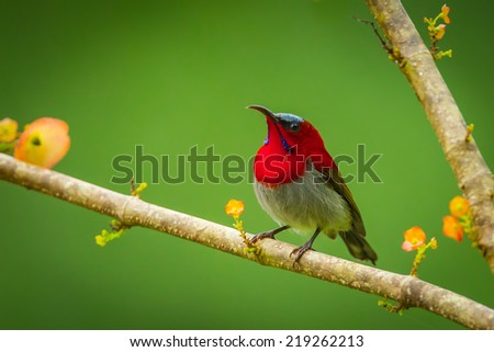 Crimson Sunbird (Aethopyga siparaja) in nature at Kitchakoot mountain national park,Thailand