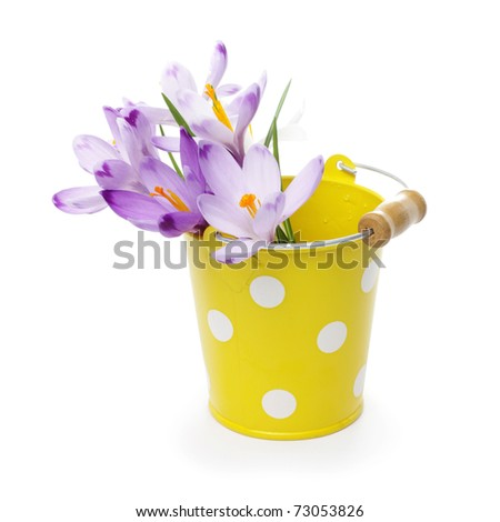 tin buckets isolated on white crocus flowers in yellow bucket isolated