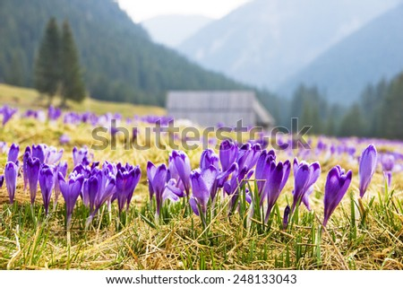 Crocus on a green meadow in spring